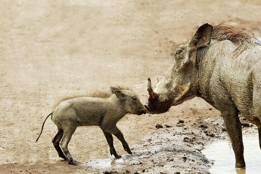 Baby Warthog Phacochoerus Africanus Photograph by Richard Wear / Design Pics