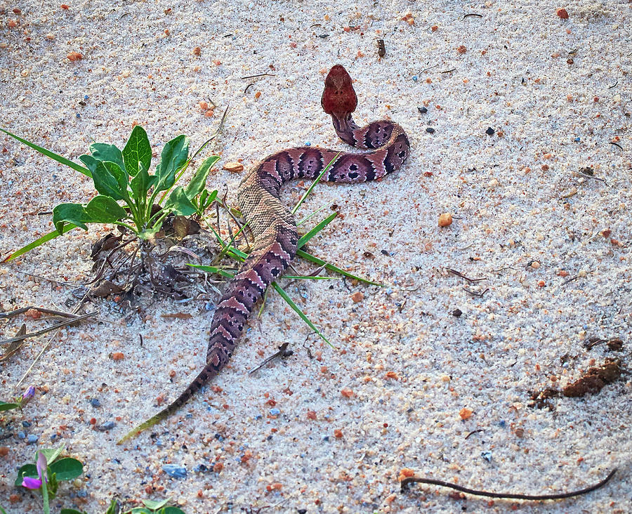 Baby Water Moccasin On Beach Photograph By Bill Chambers