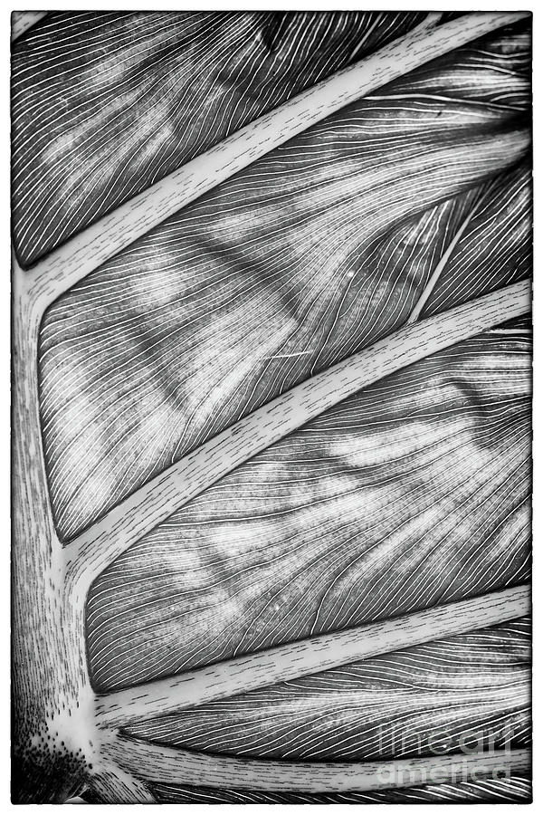 Back Lit Split-leaf Philodendron - 1413 by Marvin Reinhart