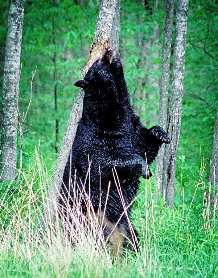 Bear Photograph - Back Scratch Bear by John Bates