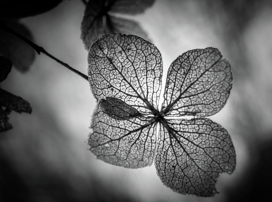 Backlit Leaves In Black and White by Chrystal Mimbs