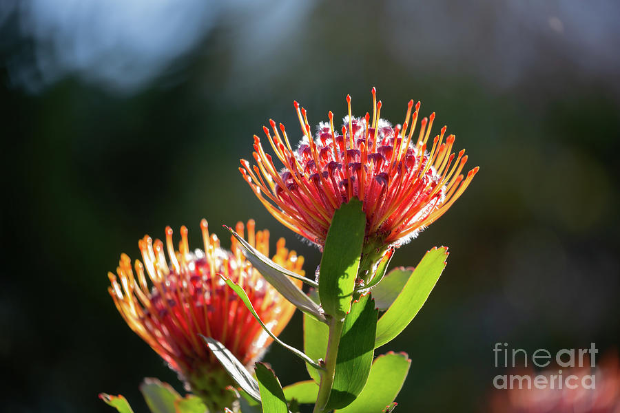 Backlit Proteas by Eva Lechner