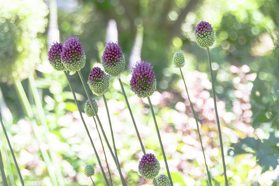 Backlit Purple Allium by Amy Sorvillo