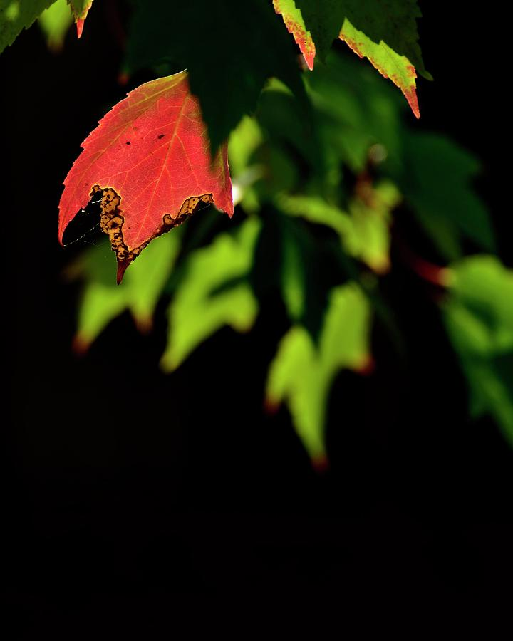 Backlit Red And Green Leaves by Jerry Sodorff