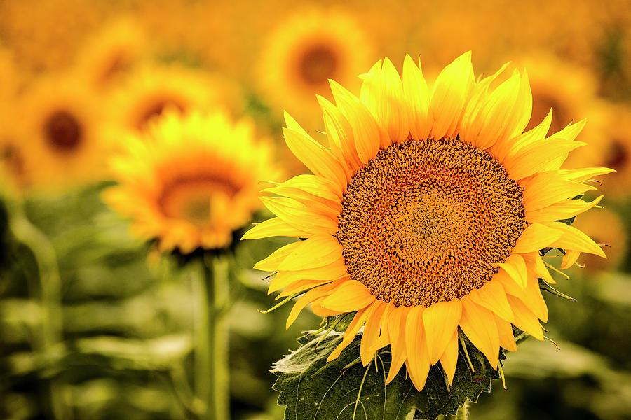Backlit Sunflower Bloom in Large Sunflower Field by Teri Virbickis
