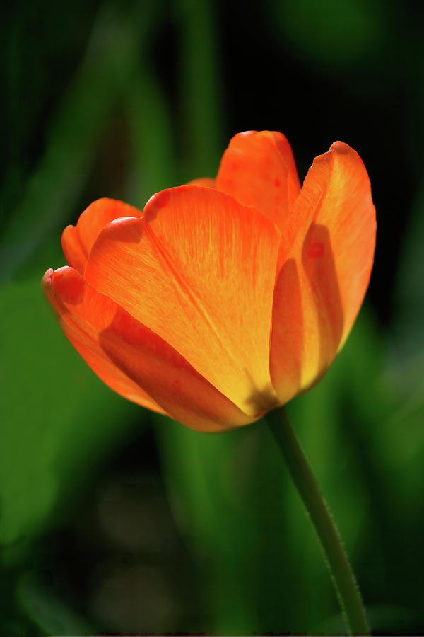Backlit Tulip by Barry Wills