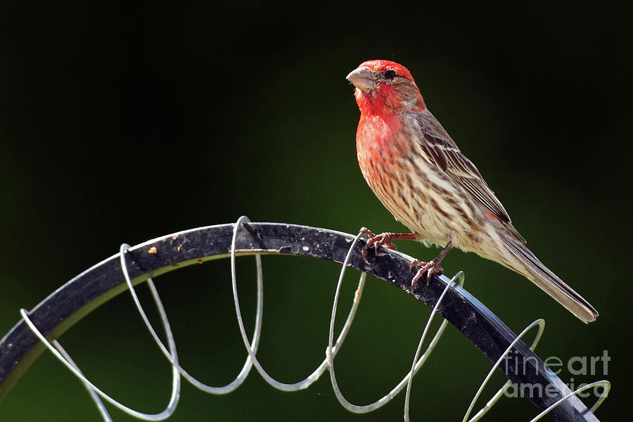 Backyard Birds 0524 Photograph by Alan Look