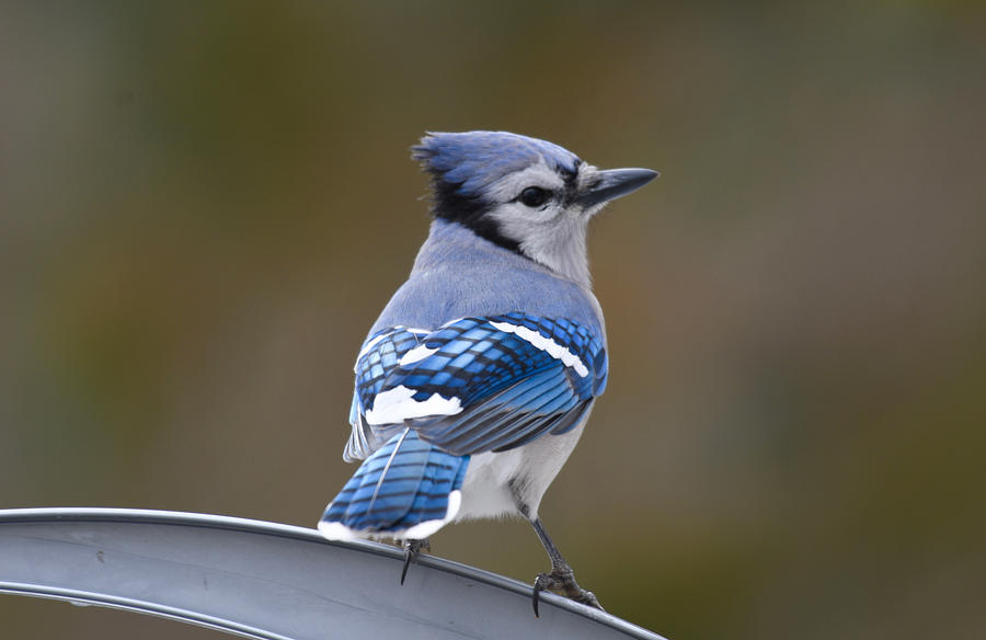 Backyard Blue Jay by Sonja Jones
