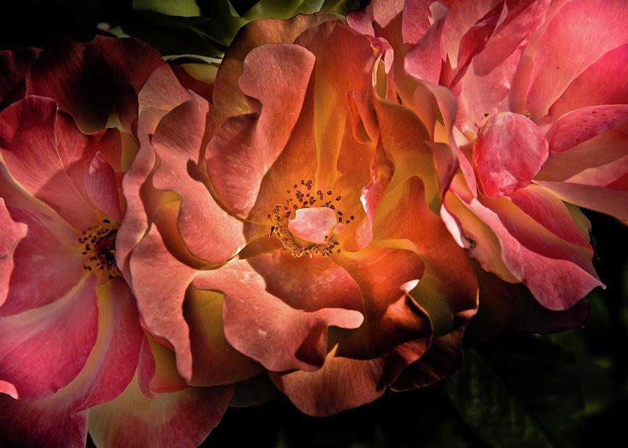 Backyard Flowers 40 Color Version Photograph
