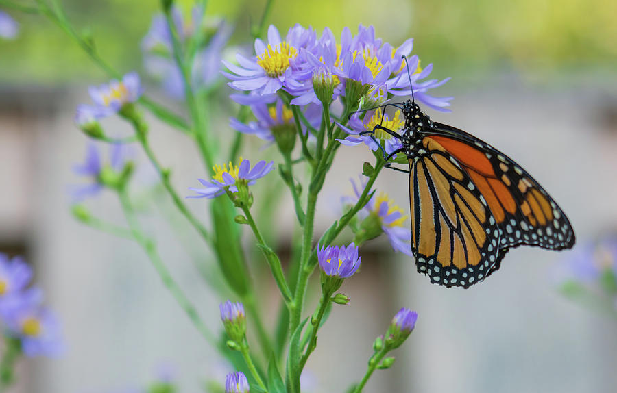 Backyard Monarch Photograph