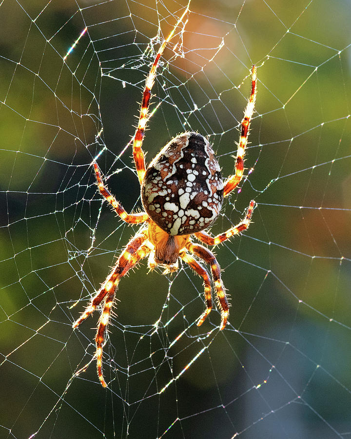 Backyard Spider by Patrick Campbell
