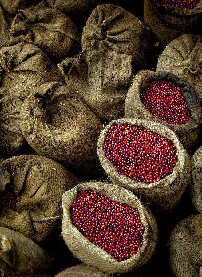 Bags Of Coffee Cherries, El Salvador Photograph by John Coletti