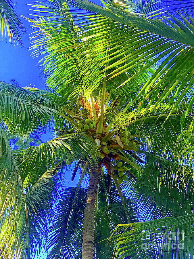 Bahama coconut tree by Carey Chen