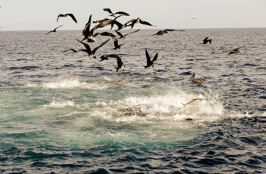 Baitball with Tuna and seabirds feeding by David Shuler