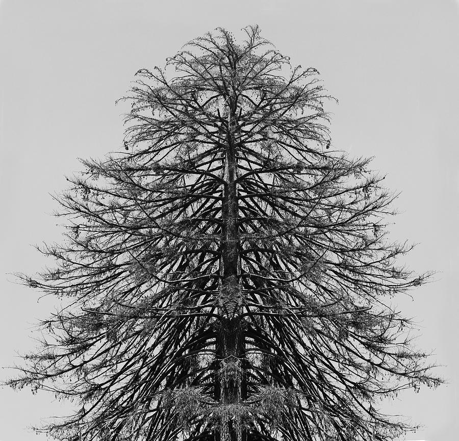 Tree Photograph - Balanced Tree by Alina Avanesian
