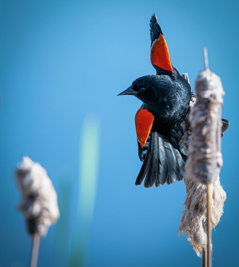 Balancing on a Cattail by Philip Rispin