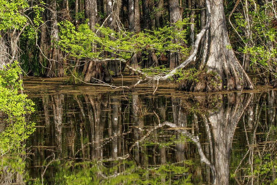 Adam Jones Photograph - Bald Cypress Trees And Reflection, Six by Adam Jones