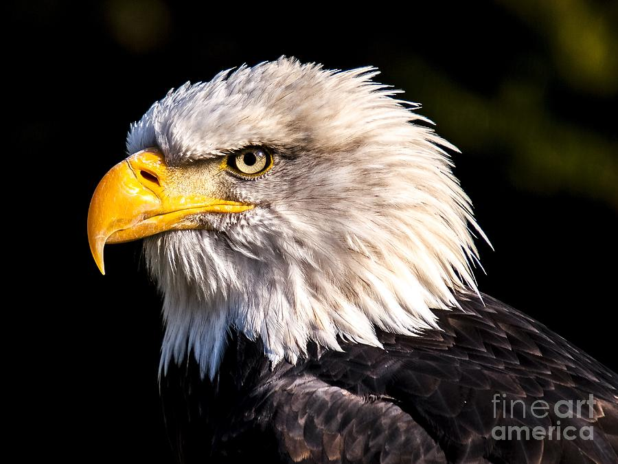 Bald Eagle 1 by Michael Graham