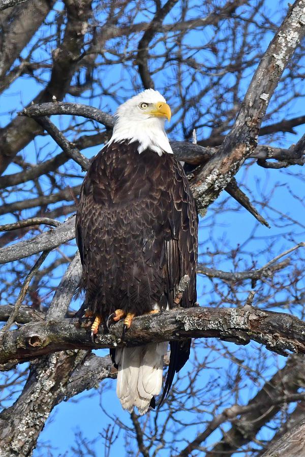 Bald Eagle 1314 Photograph