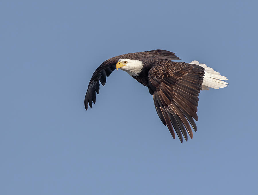 Bald Eagle 2019-10 by Thomas Young