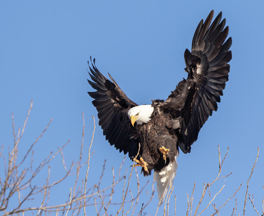 Bald Eagle 2019-14 by Thomas Young