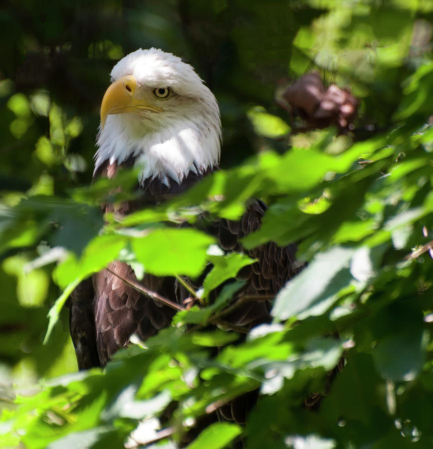 bald eagle 22 by Chris Flees