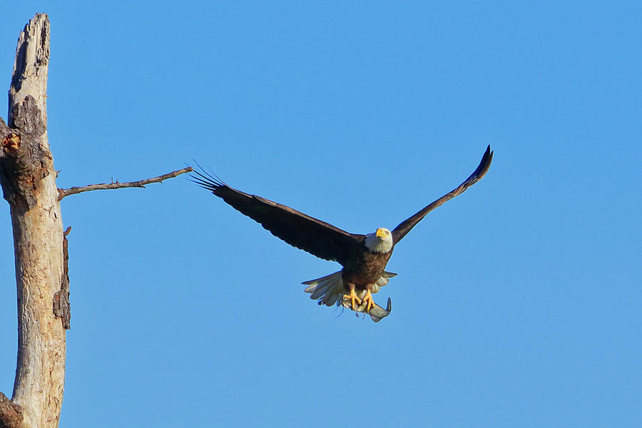 Bald Eagle 3 by Dead Cypress Photography