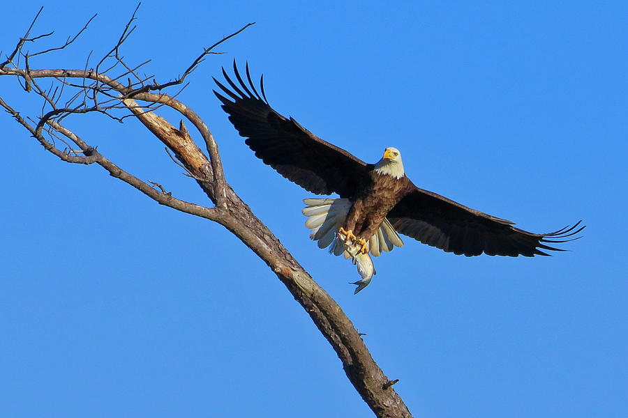 Bald Eagle 4 by Dead Cypress Photography