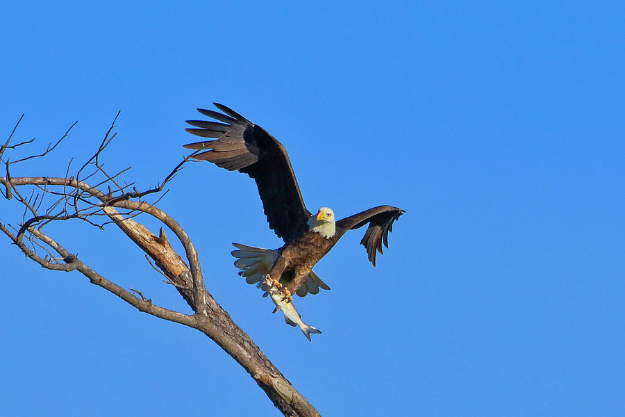 Bald Eagle 5 by Dead Cypress Photography