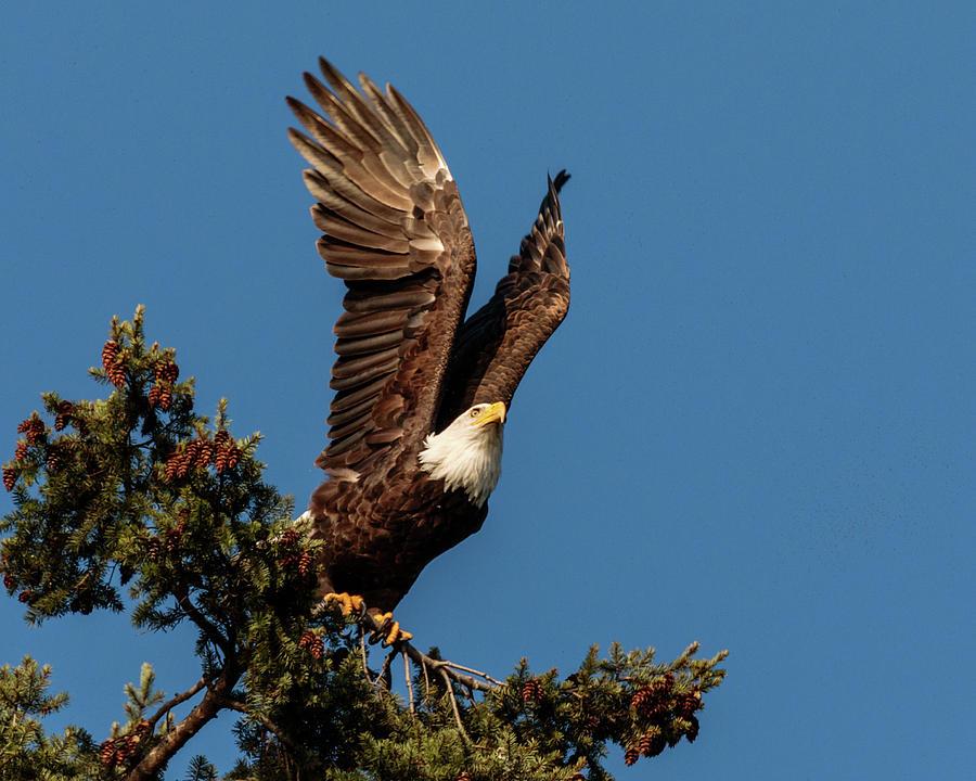 Bald Eagle 5995 by Pamela S Eaton-Ford