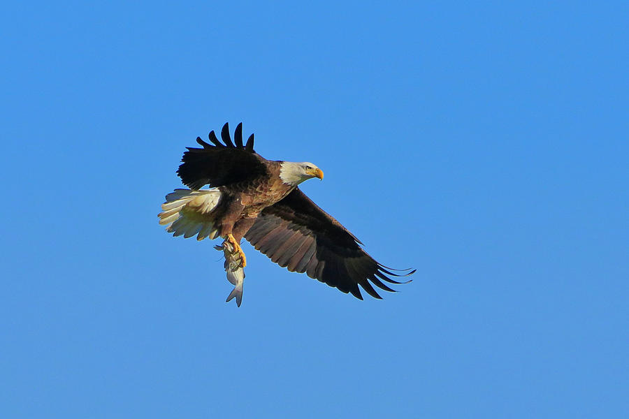 Bald Eagle 7 by Dead Cypress Photography