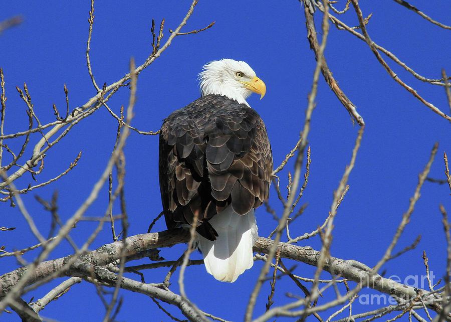 Bald Eagle and Blue Sky by Paula Guttilla