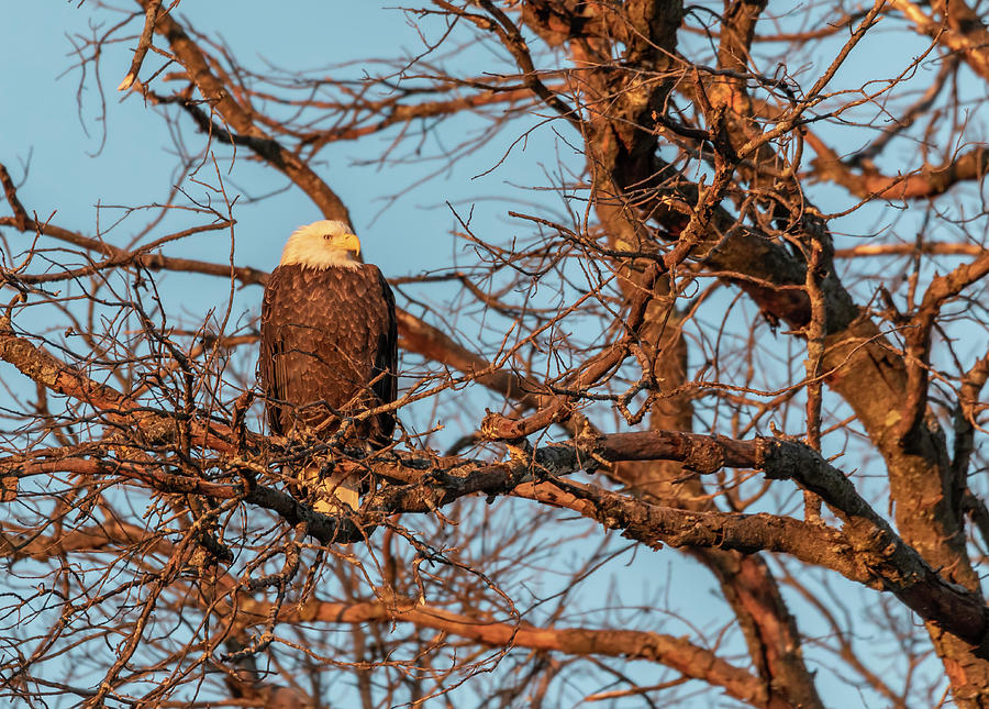 Bald Eagle at Sunrise 2019 by Thomas Young