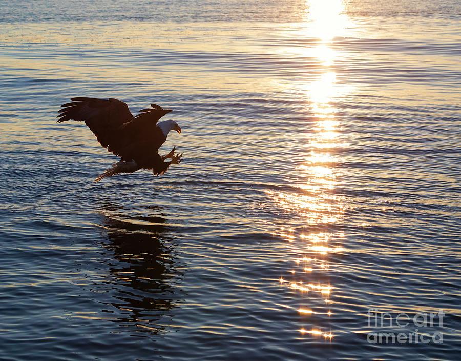Bald Eagle Photograph - Bald Eagle At Sunset by Louise Heusinkveld