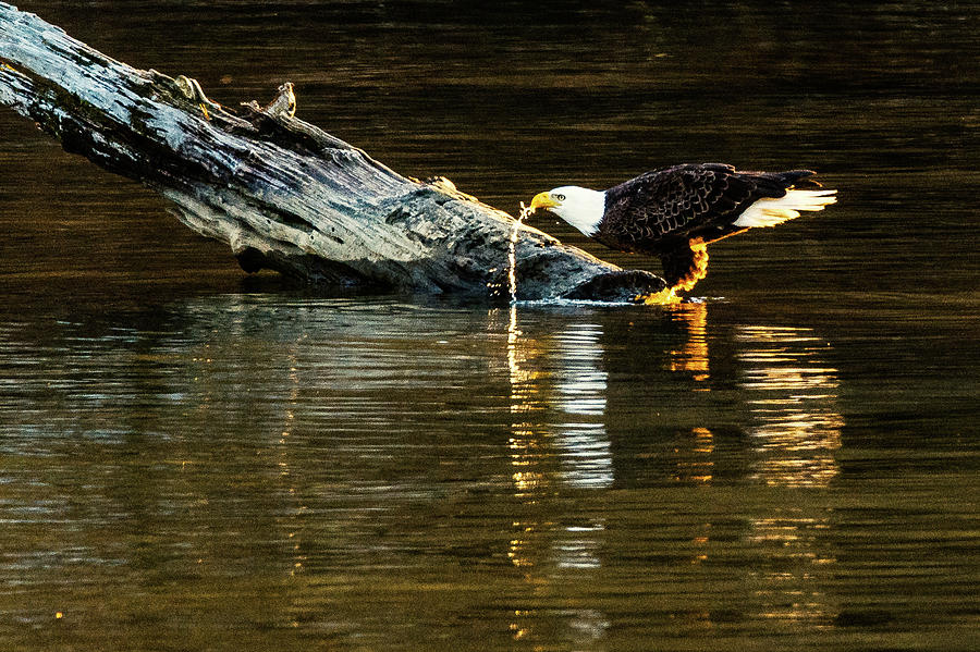 Bald Eagle at the Watering Hole by Jack Peterson