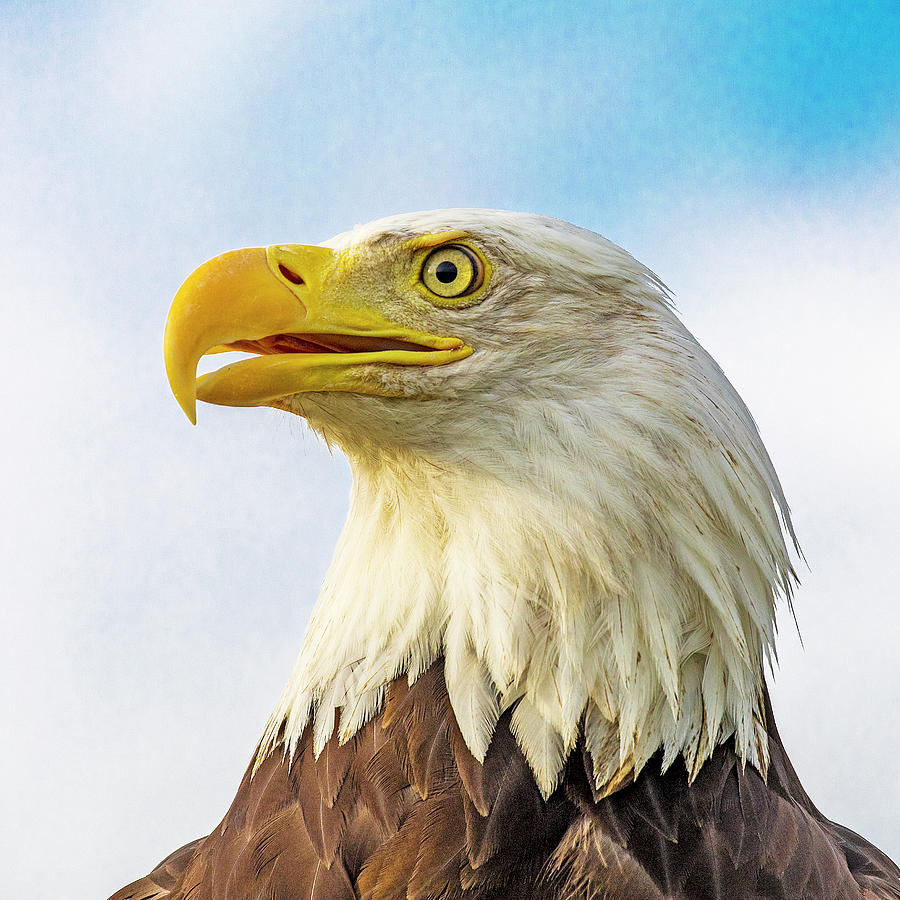 Bald Eagle Close Up by Lowell Monke