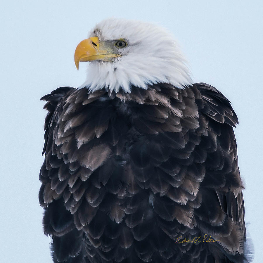 Bald Eagle Closeup by Edward Peterson