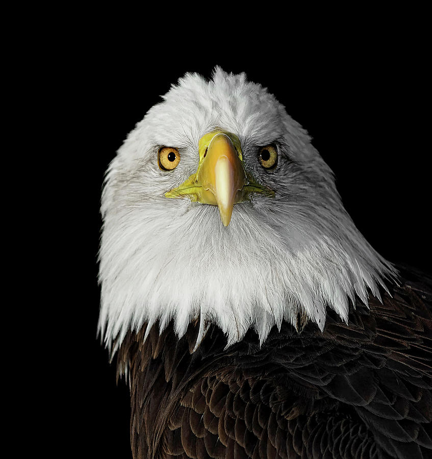 Bald Eagle Photograph by Dansphotoart On Flickr