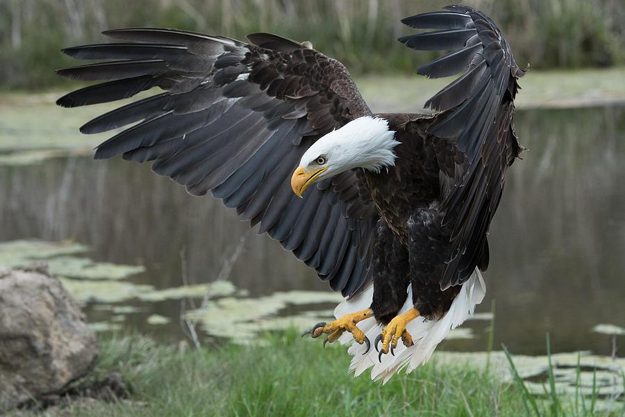 Bald Photograph - Bald Eagle by Darlene Hewson