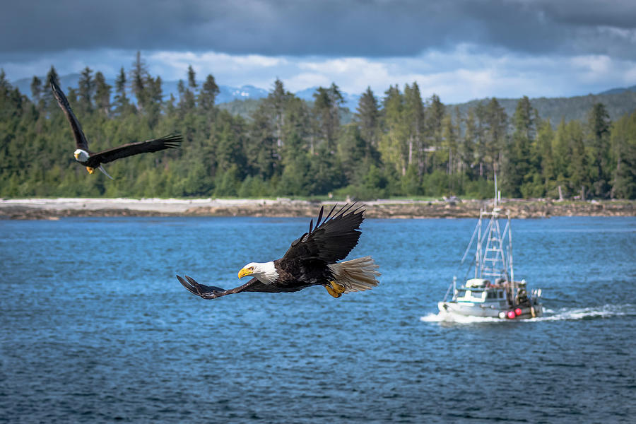 Eagle Photograph - Bald Eagle Escort by Russell Cody