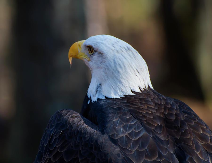 bald eagle facing away by Chris Flees