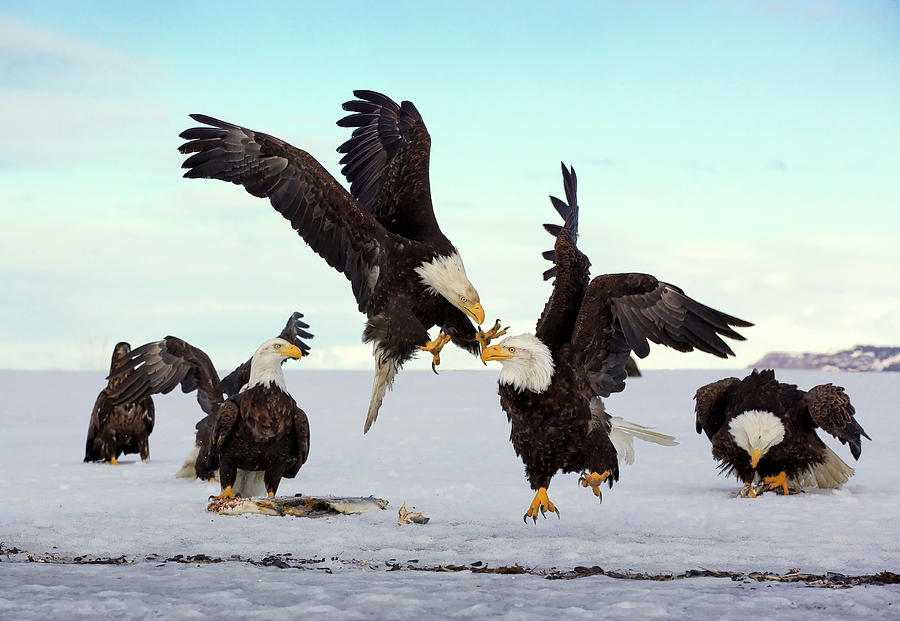 Bald Eagle Fight by Scott Bourne