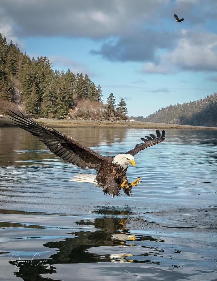 Bald Eagle Fishing in Sadie Cove by James Capo