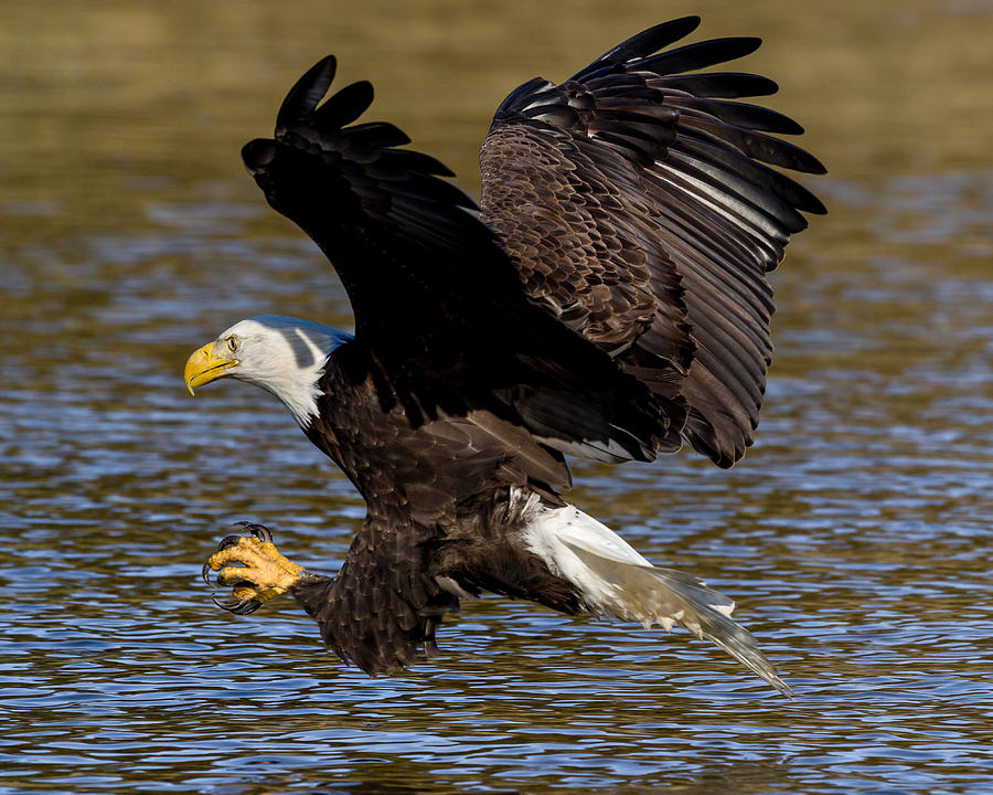 Bald Eagle Fishing on the James River by Lori Coleman