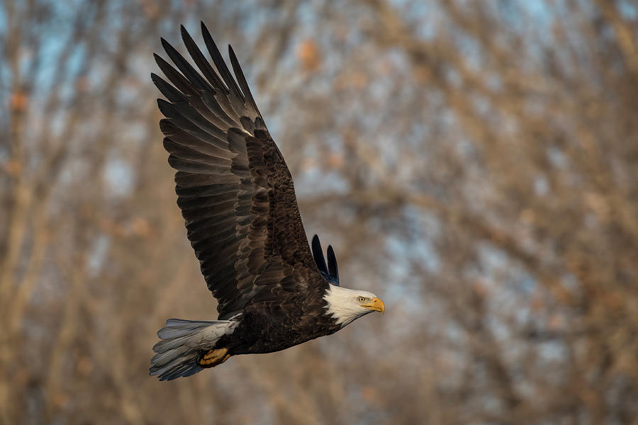 Bald Eagle Fly By by Scott Bean