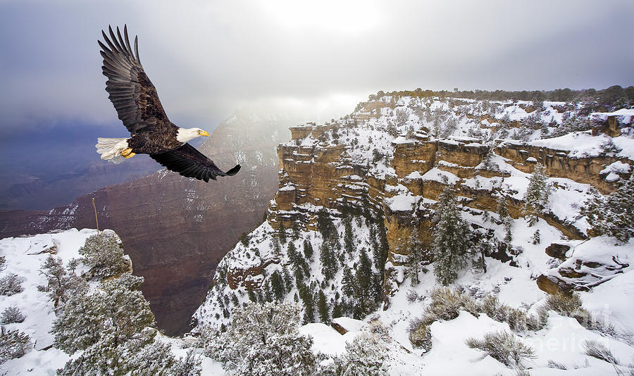 Feather Photograph - Bald Eagle Flying Above Grand Canyon by Steve Collender