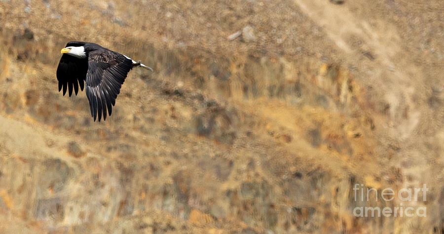 Bald Eagle Flying By by Matthew Nelson