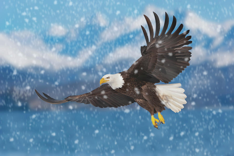 Bald Eagle Flying in Snow by Mark Miller