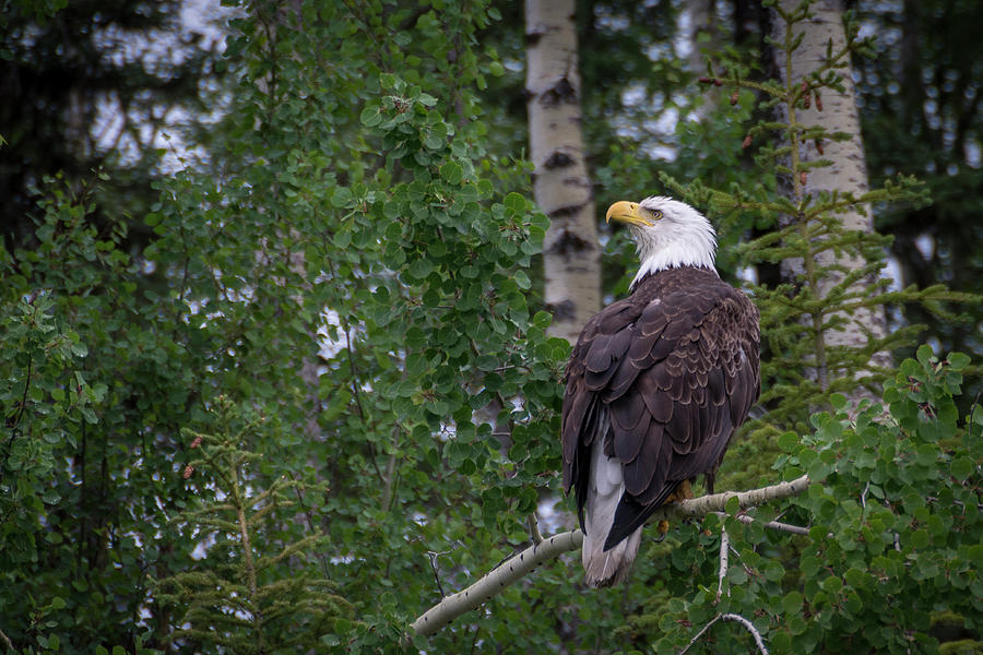 Bald Eagle by Gary Lengyel