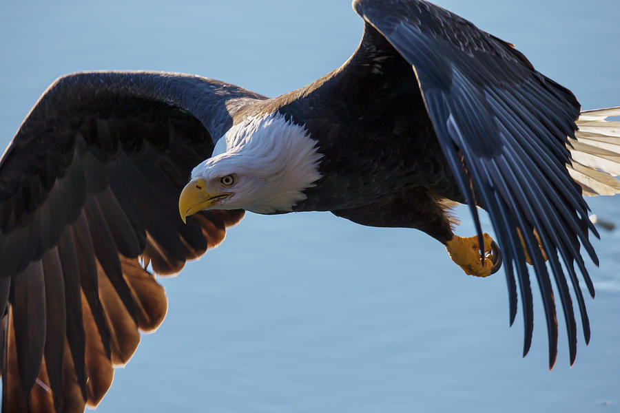 Bald Eagle Haliaeetus Leucocephalus In Photograph by Robert Postma / Design Pics